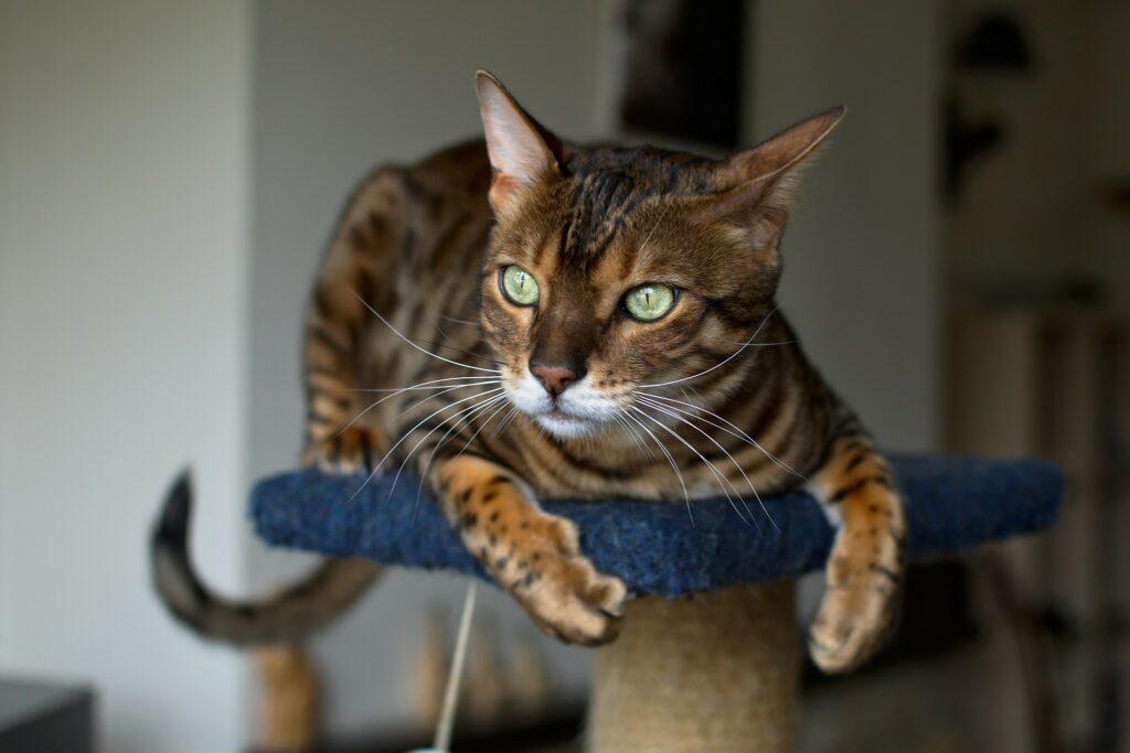 Loki, a Bengal Cat